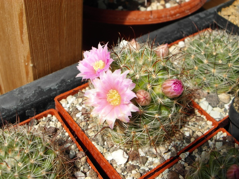 Cacti and Sukkulent in Köln, every day new flowers in the greenhouse Part 46 Bild_389