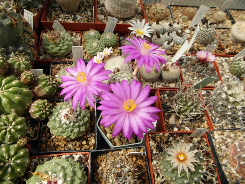 Cacti and Sukkulent in Köln, every day new flowers in the greenhouse Part 46 Bild_390