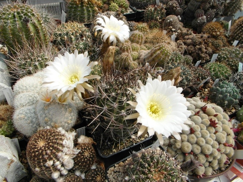 Cacti and Sukkulent in Köln, every day new flowers in the greenhouse Part 46 Bild_401