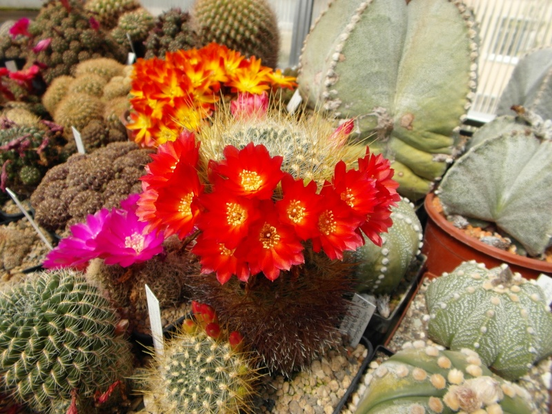 Cacti and Sukkulent in Köln, every day new flowers in the greenhouse Part 46 Bild_402