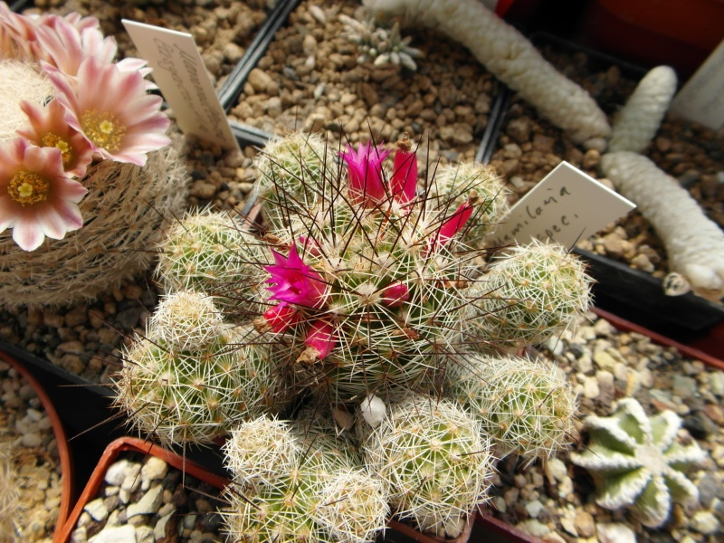 Cacti and Sukkulent in Köln, every day new flowers in the greenhouse Part 43 Bild_413