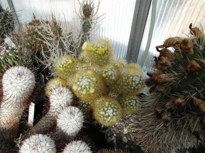 Cacti and Sukkulent in Köln, every day new flowers in the greenhouse Part 43 Bild_416