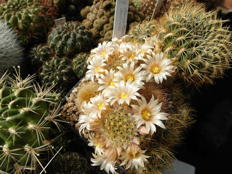 Cacti and Sukkulent in Köln, every day new flowers in the greenhouse Part 43 Bild_422