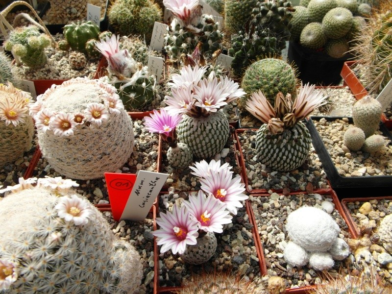 Cacti and Sukkulent in Köln, every day new flowers in the greenhouse Part 43 Bild_425