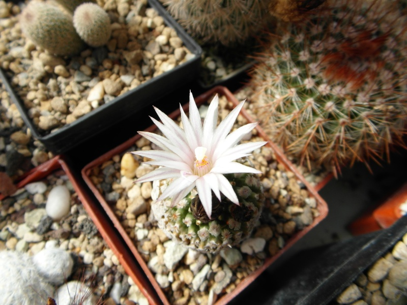 Cacti and Sukkulent in Köln, every day new flowers in the greenhouse Part 43 Bild_427