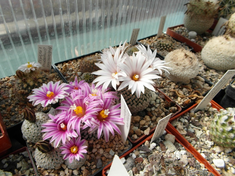 Cacti and Sukkulent in Köln, every day new flowers in the greenhouse Part 43 Bild_429