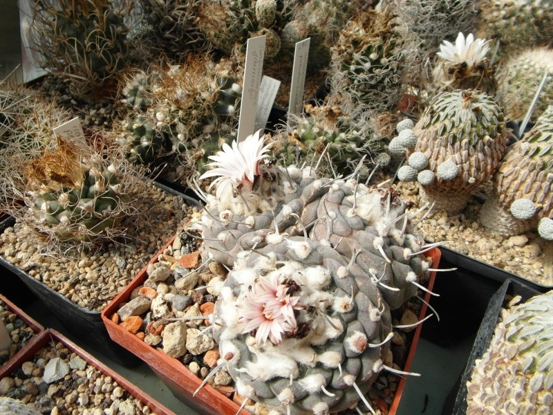 Cacti and Sukkulent in Köln, every day new flowers in the greenhouse Part 43 Bild_431