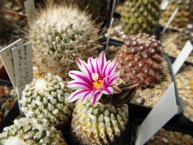 Cacti and Sukkulent in Köln, every day new flowers in the greenhouse Part 43 Bild_432