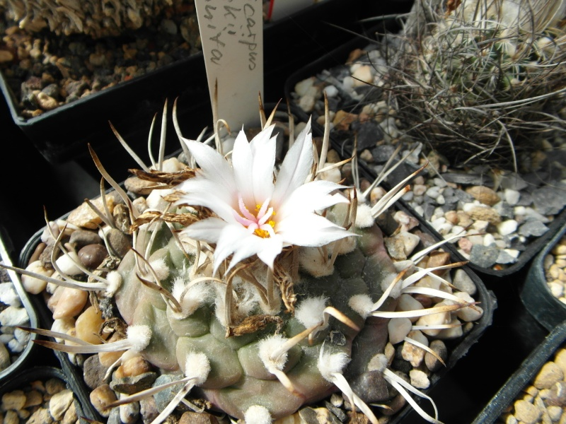Cacti and Sukkulent in Köln, every day new flowers in the greenhouse Part 43 Bild_433