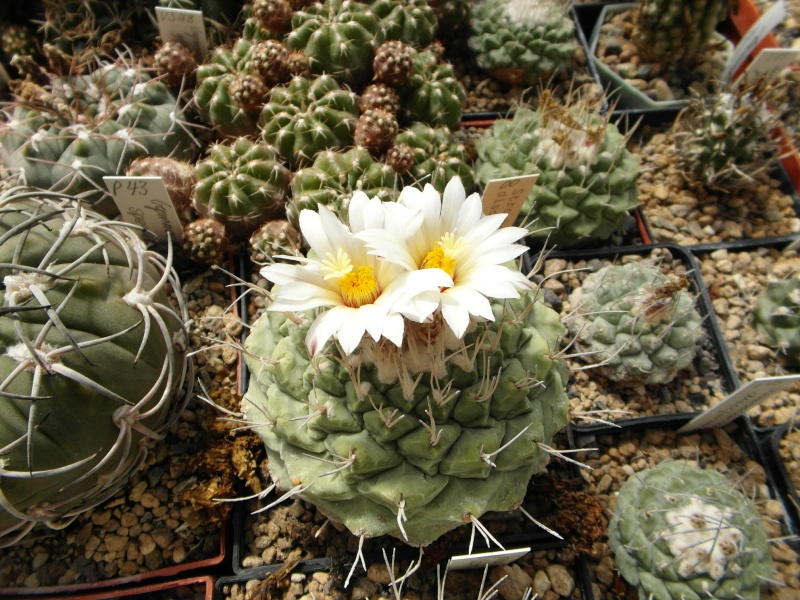 Cacti and Sukkulent in Köln, every day new flowers in the greenhouse Part 43 Bild_435