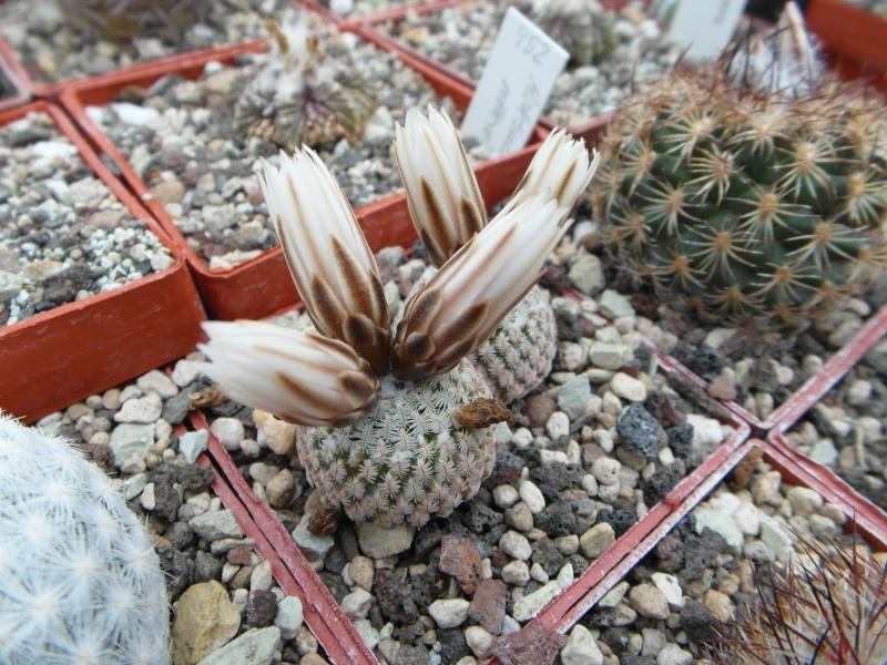 Cacti and Sukkulent in Köln, every day new flowers in the greenhouse Part 43 Bild_437