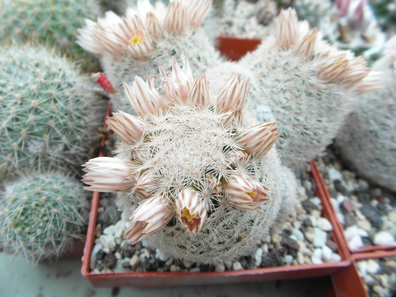 Cacti and Sukkulent in Köln, every day new flowers in the greenhouse Part 43 Bild_441