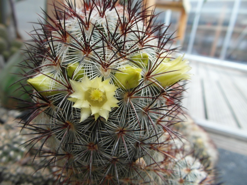 Cacti and Sukkulent in Köln, every day new flowers in the greenhouse Part 43 Bild_444