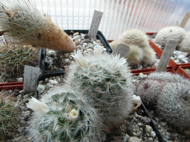 Cacti and Sukkulent in Köln, every day new flowers in the greenhouse Part 43 Bild_445
