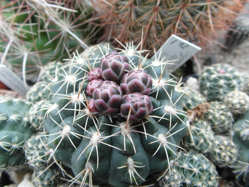 Cacti and Sukkulent in Köln, every day new flowers in the greenhouse Part 43 Bild_448