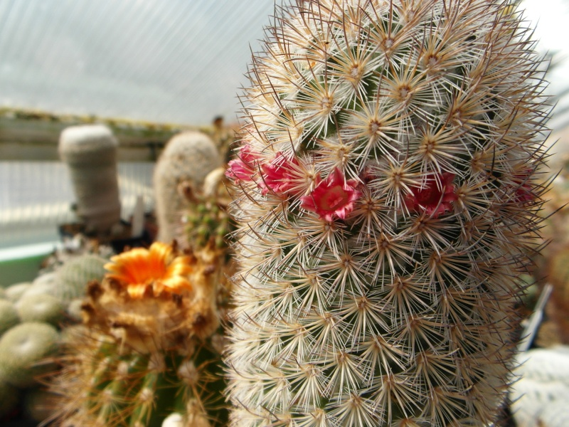 Cacti and Sukkulent in Köln, every day new flowers in the greenhouse Part 43 Bild_453
