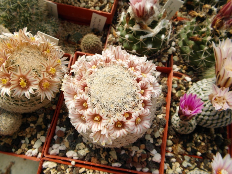 Cacti and Sukkulent in Köln, every day new flowers in the greenhouse Part 43 Bild_454