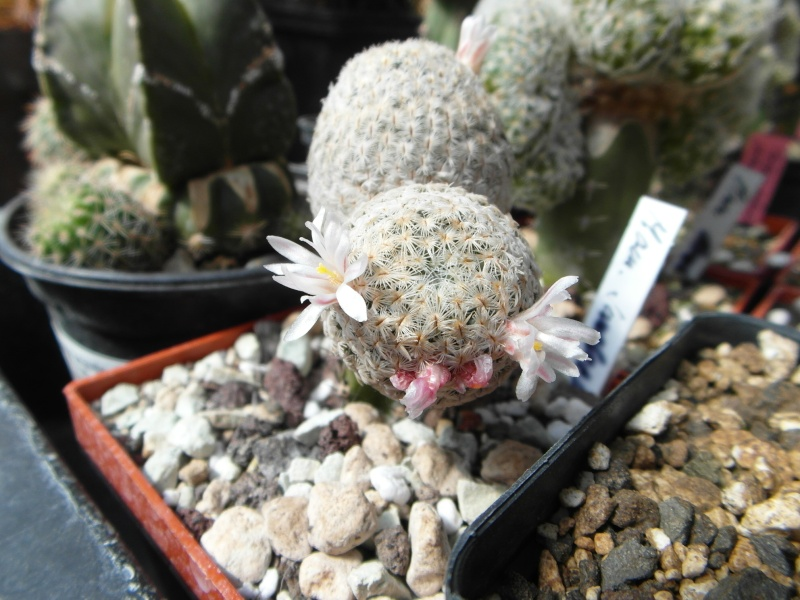 Cacti and Sukkulent in Köln, every day new flowers in the greenhouse Part 43 Bild_459