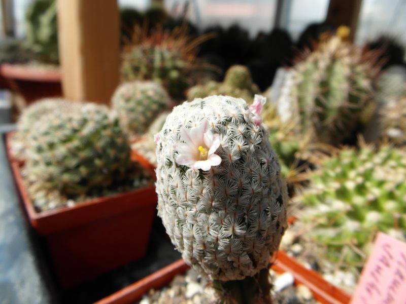 Cacti and Sukkulent in Köln, every day new flowers in the greenhouse Part 43 Bild_460