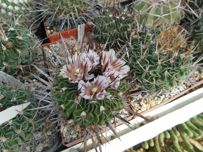Cacti and Sukkulent in Köln, every day new flowers in the greenhouse Part 43 Bild_461