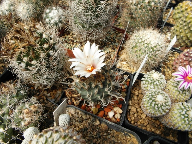 Cacti and Sukkulent in Köln, every day new flowers in the greenhouse Part 43 Bild_464