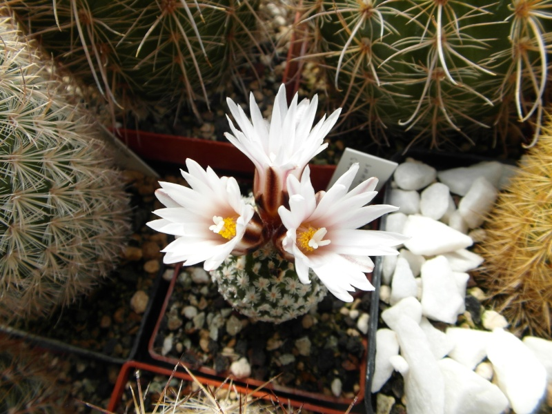 Cacti and Sukkulent in Köln, every day new flowers in the greenhouse Part 43 Bild_467