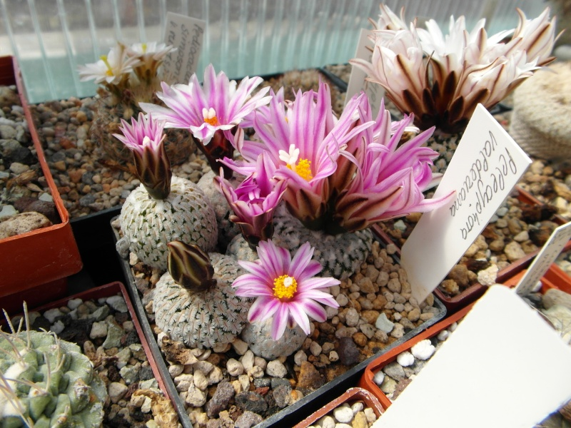 Cacti and Sukkulent in Köln, every day new flowers in the greenhouse Part 43 Bild_469
