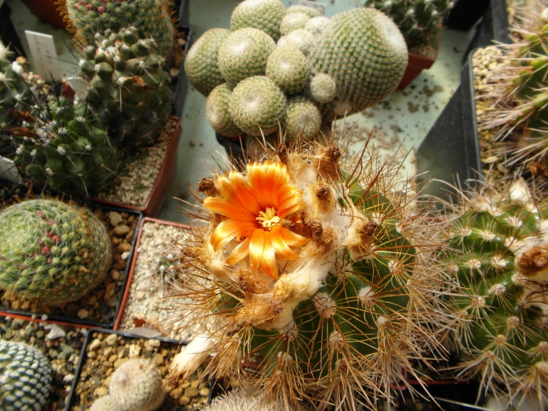 Cacti and Sukkulent in Köln, every day new flowers in the greenhouse Part 43 Bild_470