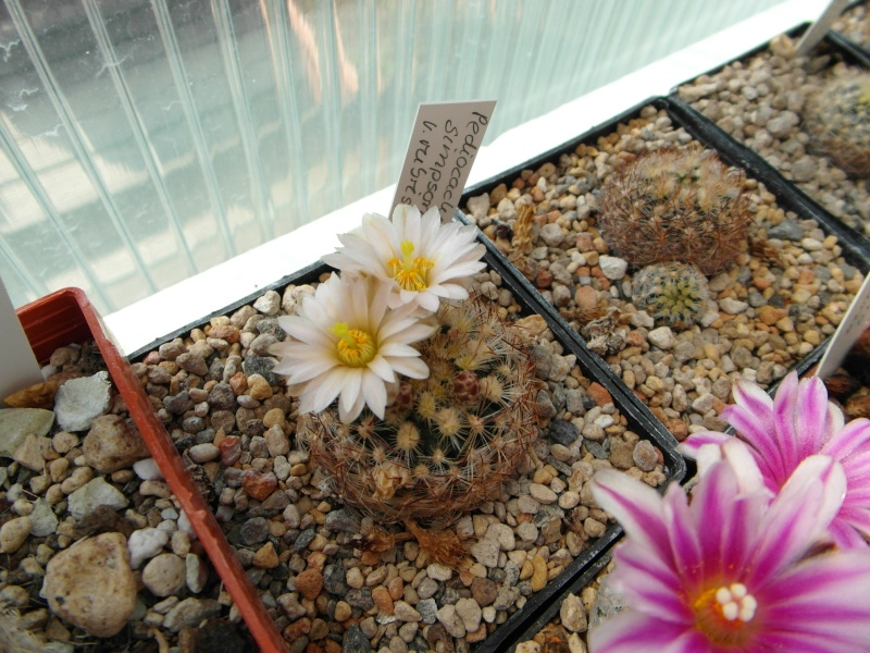 Cacti and Sukkulent in Köln, every day new flowers in the greenhouse Part 43 Bild_472