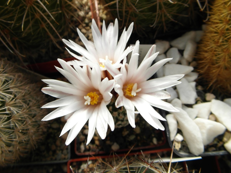 Cacti and Sukkulent in Köln, every day new flowers in the greenhouse Part 44 Bild_478
