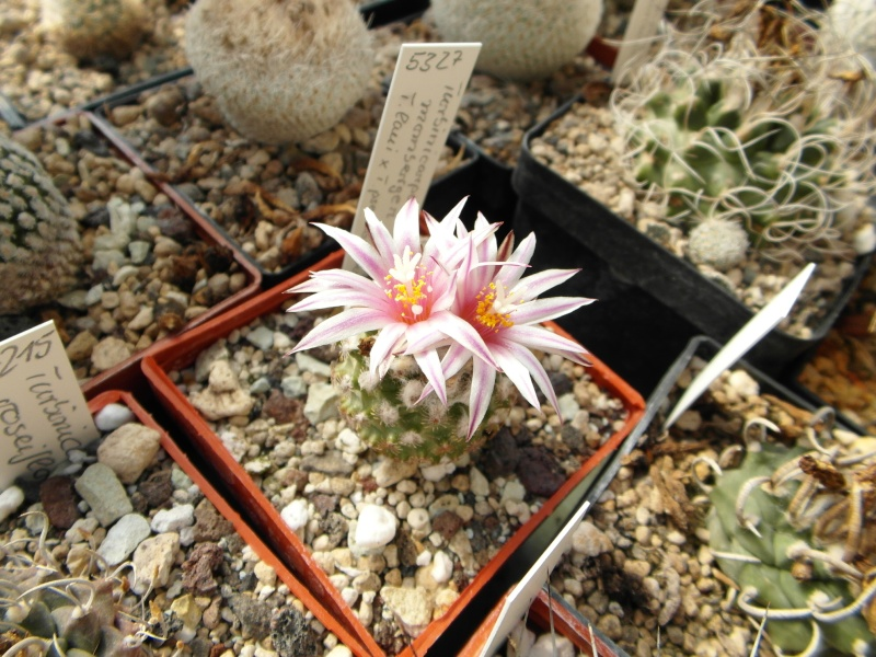 Cacti and Sukkulent in Köln, every day new flowers in the greenhouse Part 44 Bild_480