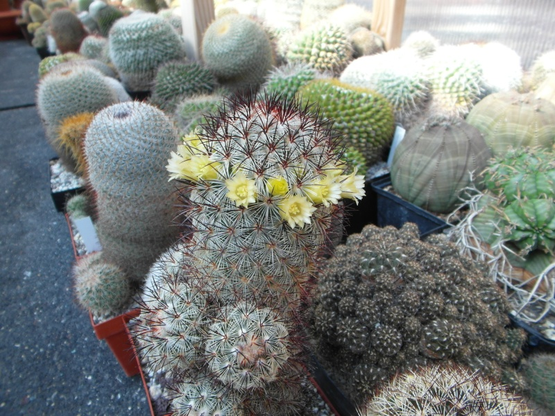 Cacti and Sukkulent in Köln, every day new flowers in the greenhouse Part 44 Bild_493