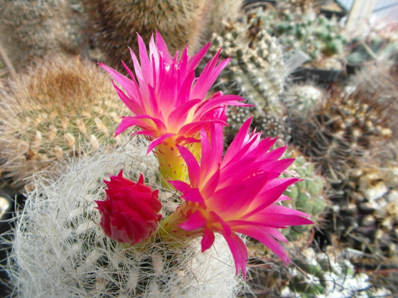 Cacti and Sukkulent in Köln, every day new flowers in the greenhouse Part 46 Bild_500