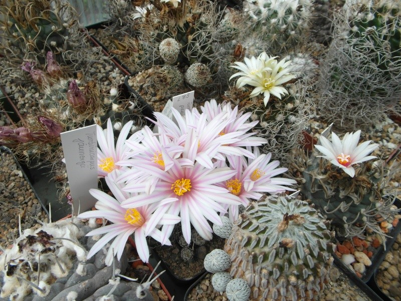 Cacti and Sukkulent in Köln, every day new flowers in the greenhouse Part 46 Bild_507