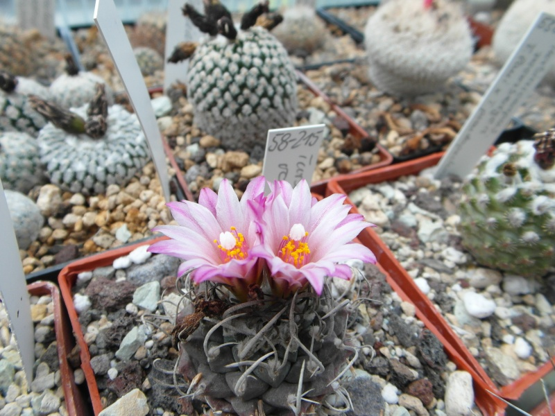 Cacti and Sukkulent in Köln, every day new flowers in the greenhouse Part 46 Bild_508