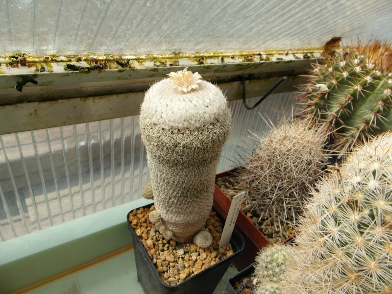 Cacti and Sukkulent in Köln, every day new flowers in the greenhouse Part 46 Bild_525