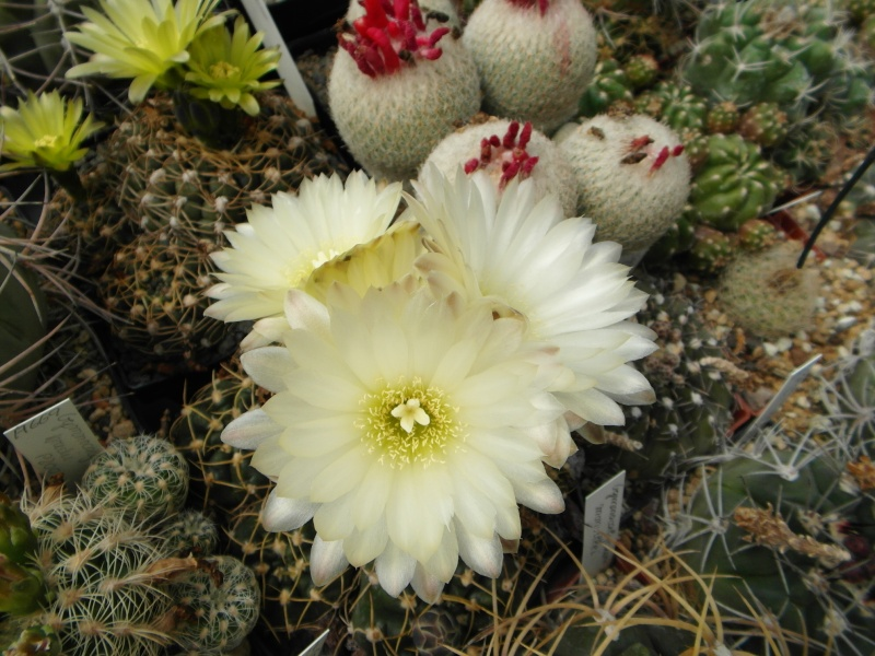 Cacti and Sukkulent in Köln, every day new flowers in the greenhouse Part 46 Bild_528