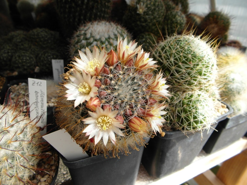 Cacti and Sukkulent in Köln, every day new flowers in the greenhouse Part 46 Bild_534