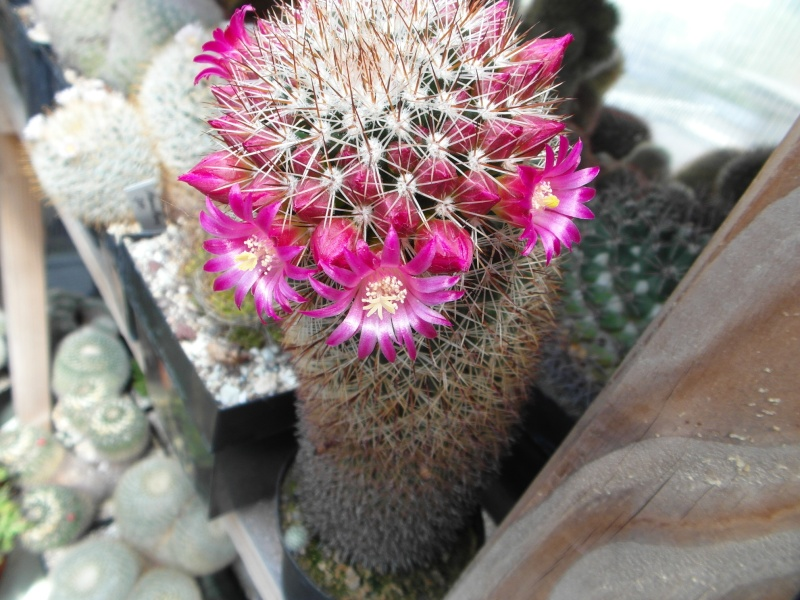 Cacti and Sukkulent in Köln, every day new flowers in the greenhouse Part 46 Bild_535