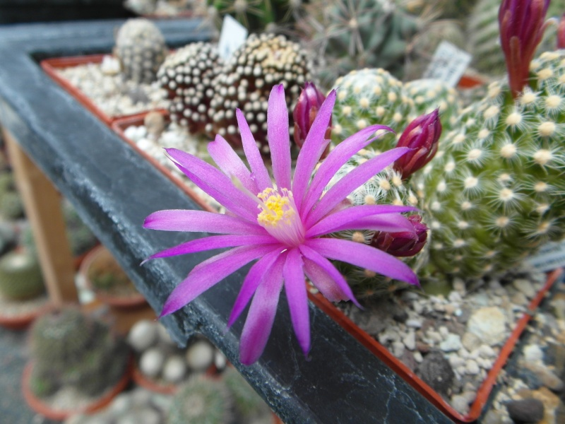 Cacti and Sukkulent in Köln, every day new flowers in the greenhouse Part 47 Bild_541