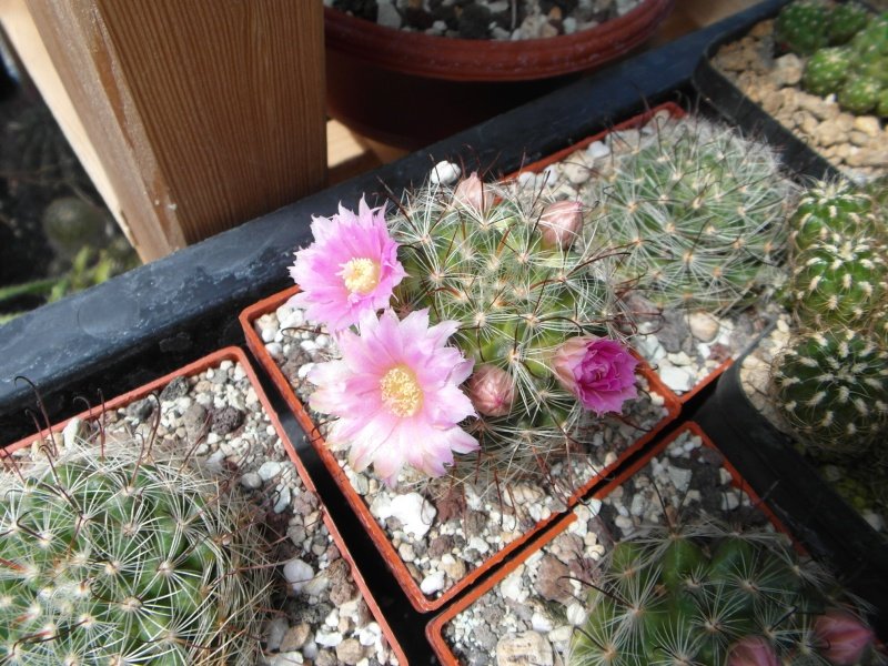 Cacti and Sukkulent in Köln, every day new flowers in the greenhouse Part 47 Bild_542