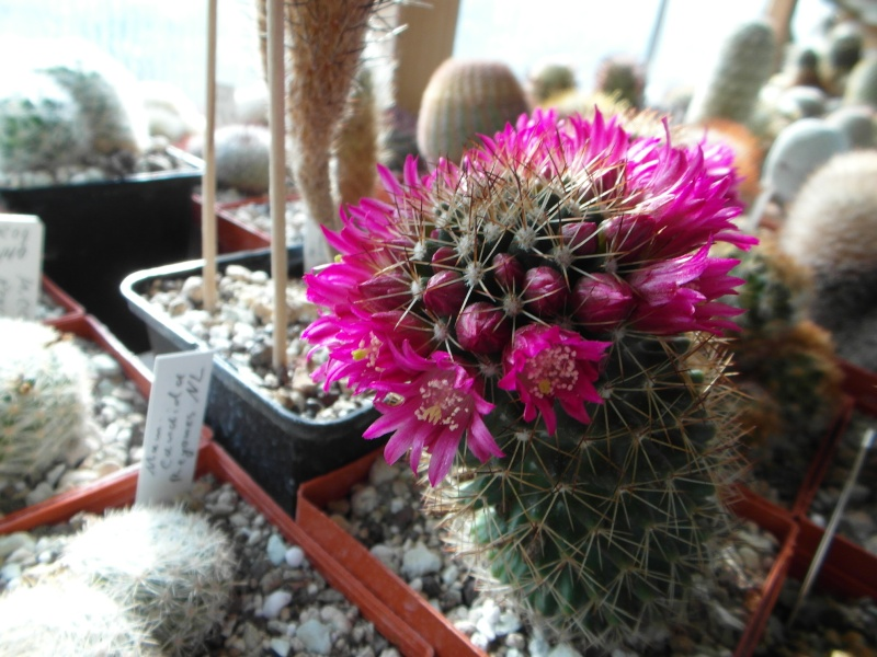 Cacti and Sukkulent in Köln, every day new flowers in the greenhouse Part 47 Bild_543