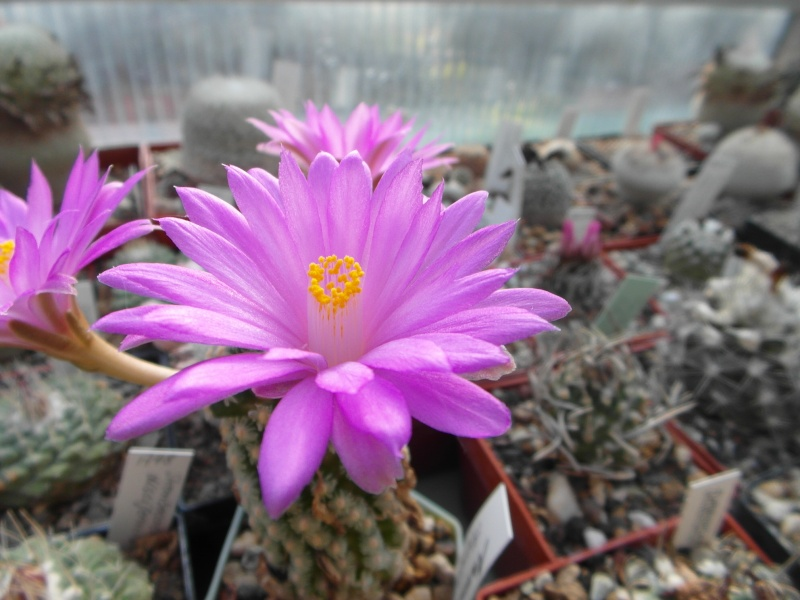Cacti and Sukkulent in Köln, every day new flowers in the greenhouse Part 47 Bild_544