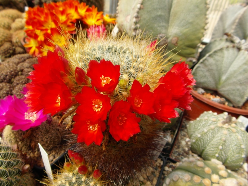 Cacti and Sukkulent in Köln, every day new flowers in the greenhouse Part 47 Bild_545