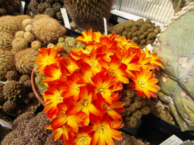 Cacti and Sukkulent in Köln, every day new flowers in the greenhouse Part 47 Bild_546