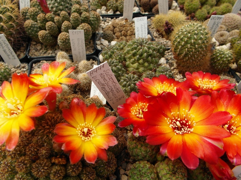 Cacti and Sukkulent in Köln, every day new flowers in the greenhouse Part 47 Bild_547