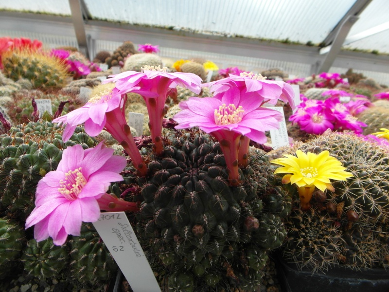 Cacti and Sukkulent in Köln, every day new flowers in the greenhouse Part 47 Bild_550