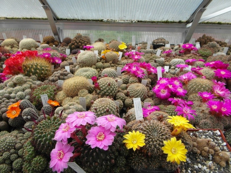 Cacti and Sukkulent in Köln, every day new flowers in the greenhouse Part 47 Bild_554