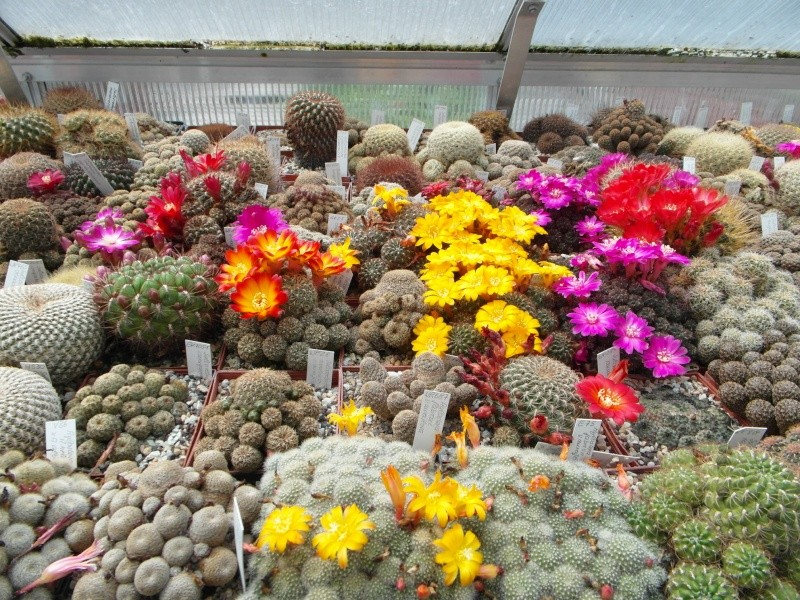 Cacti and Sukkulent in Köln, every day new flowers in the greenhouse Part 47 Bild_555