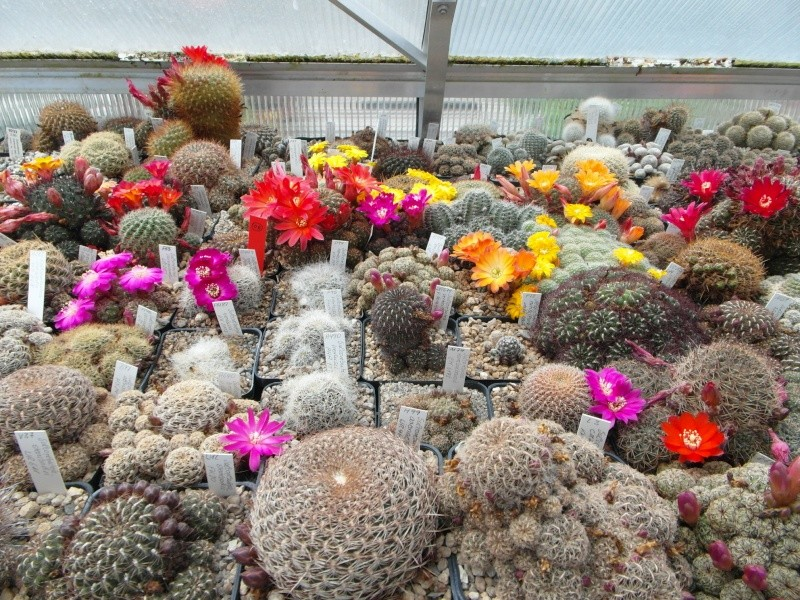 Cacti and Sukkulent in Köln, every day new flowers in the greenhouse Part 47 Bild_557